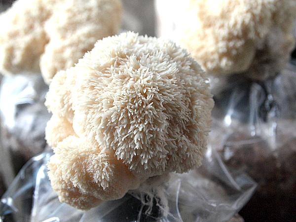 【特色景點】松杉靈芝農場 – DIY 動手做,猴頭菇原來這樣長