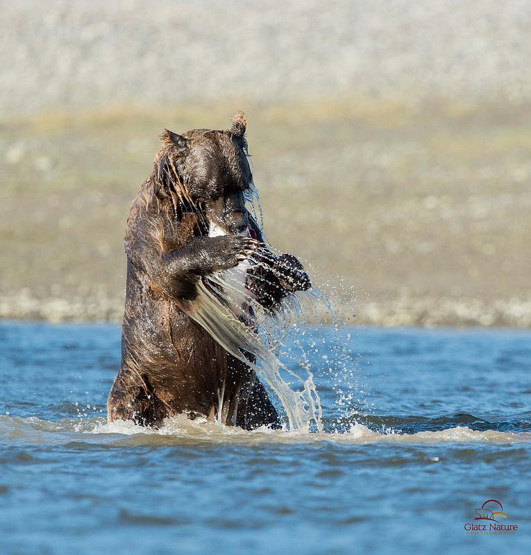 夏天就是要去看灰熊的鮭魚回流大餐