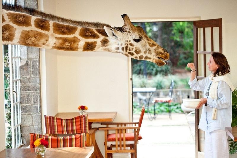 早餐和長頸鹿一同吃如何?肯尼亞的長頸鹿莊園
