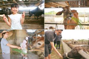 耕牛做朋友大小朋友一起來餵牛吃草
