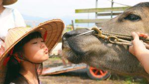 耕牛做朋友,大小朋友一起來餵牛吃草