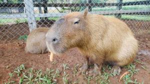 埔心牧場 水豚
