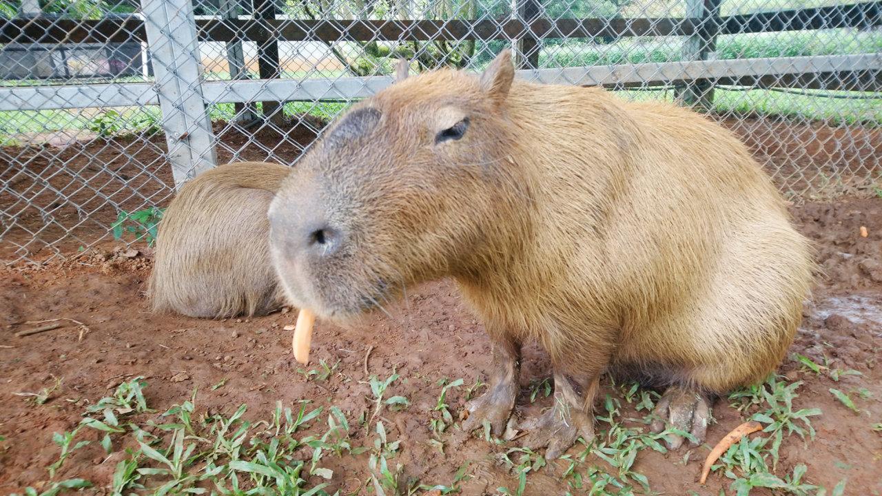 埔心牧場|水豚